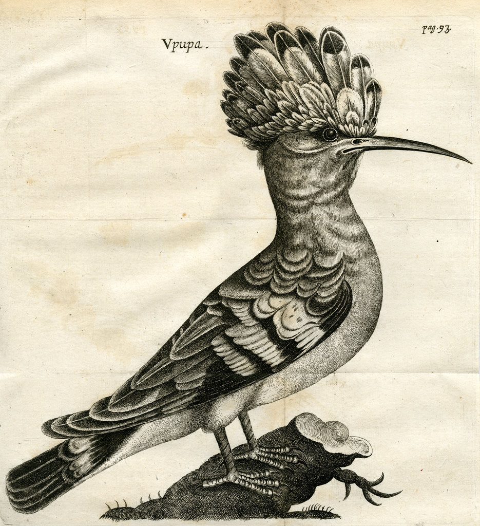 Detail of Hoopoe by unknown