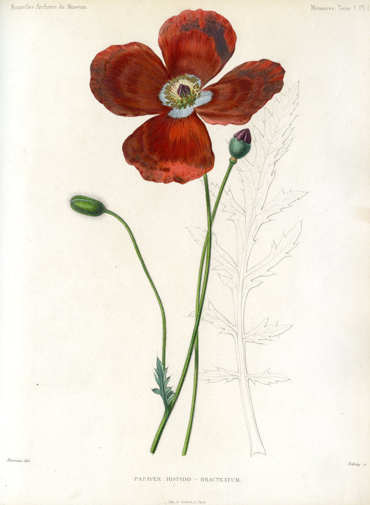 Detail of Poppy hybrid by Debray