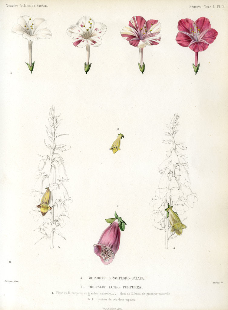 Detail of Four-o'clock and foxglove hybrids by Debray