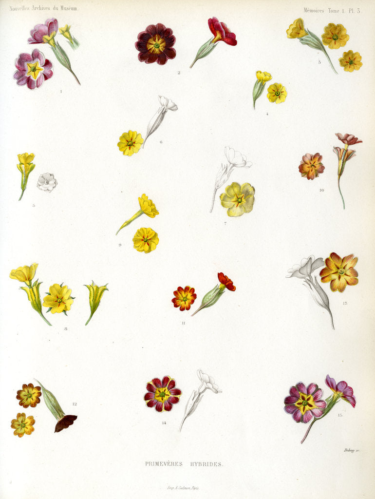 Detail of Primula hybrids by Debray
