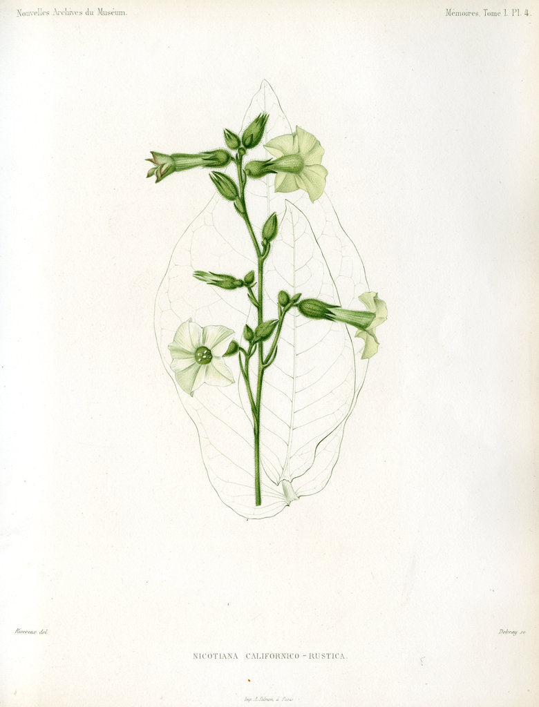 Detail of Nicotiana hybrids by Debray