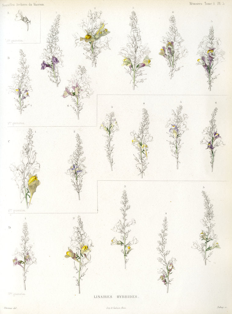 Detail of Toadflax hybrids by Debray
