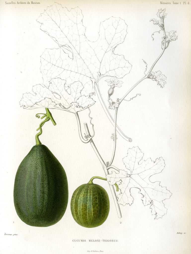Detail of Cucumis hybrids by Debray
