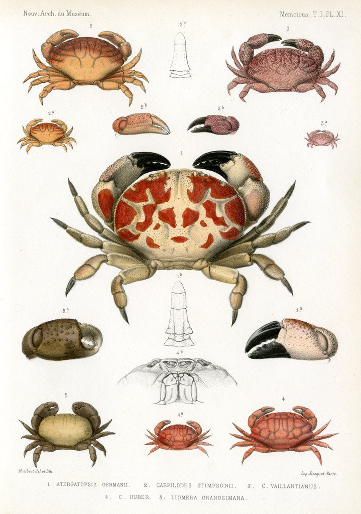 Detail of Crabs by Alois Humbert