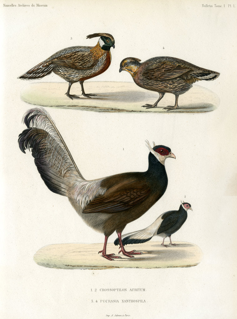 Detail of Blue eared pheasant and Koklass pheasant by unknown