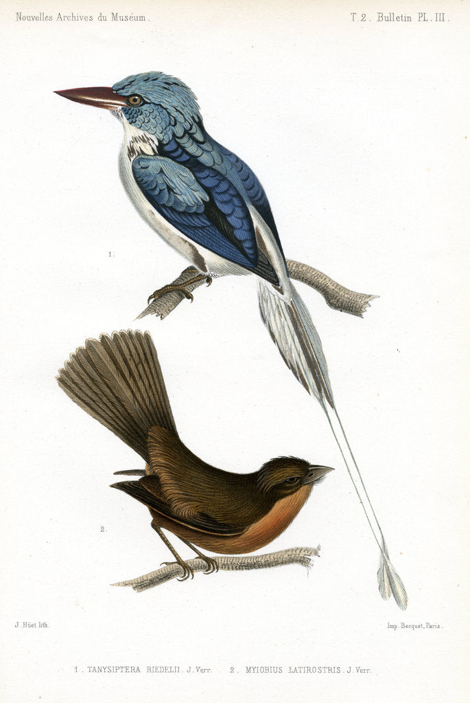 Detail of Biak paradise kingfisher and Lesser Antillean pewee by J Huet