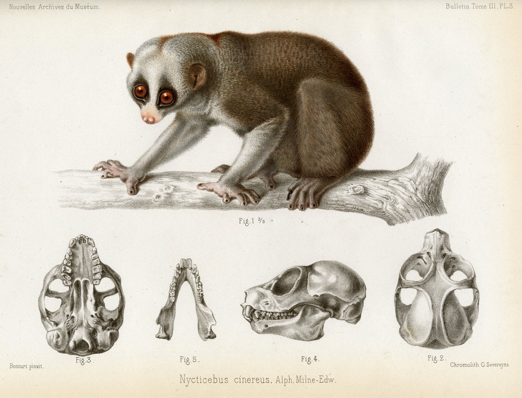 Detail of Bengal slow lorus by Marie Firmin Bocourt