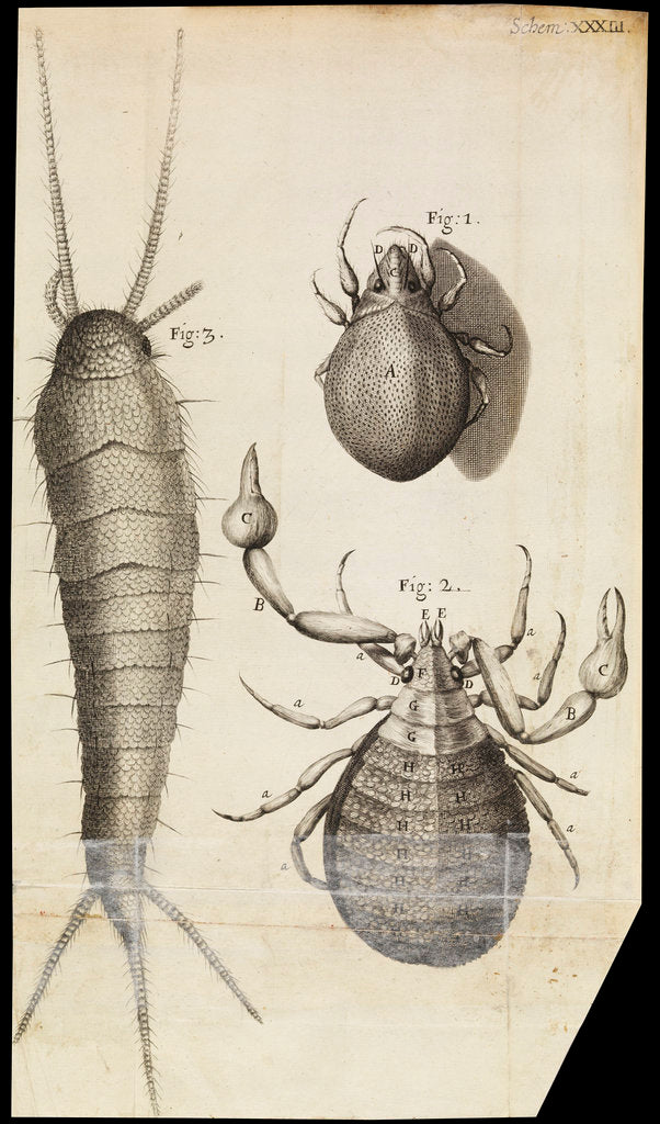 Detail of Microscopic views of a black mite, a 'crab-like' insect and a silverfish by Robert Hooke