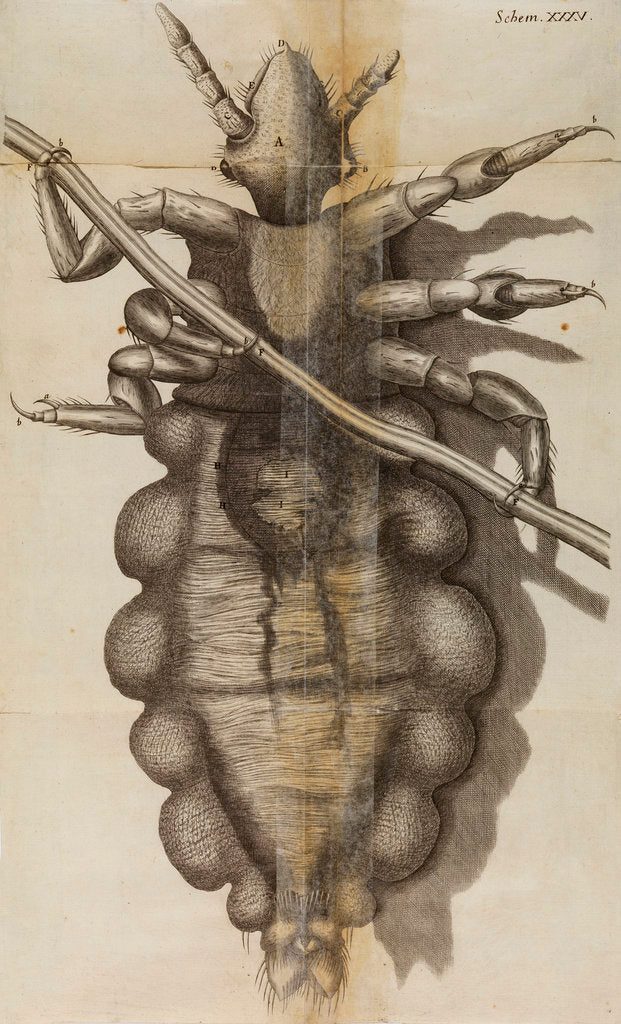 Detail of Microscopic view of a louse by Robert Hooke