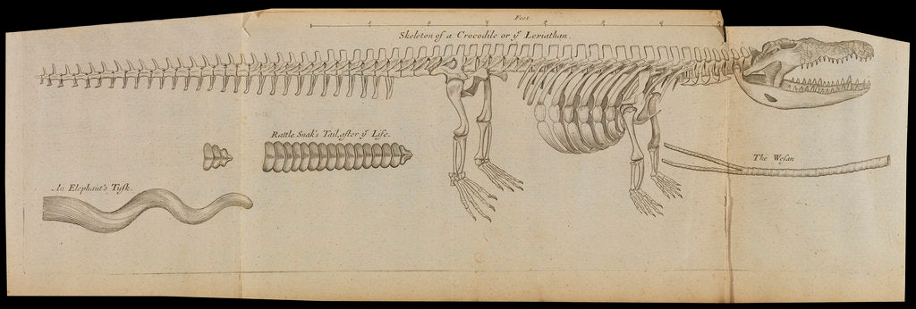 Detail of A crocodile skeleton in the Royal Society's Repository by Anonymous