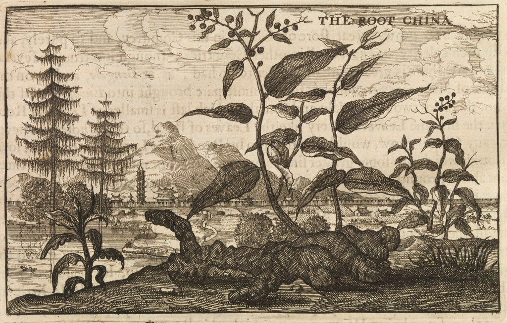 Detail of 'The Root China' by Wenceslaus Hollar
