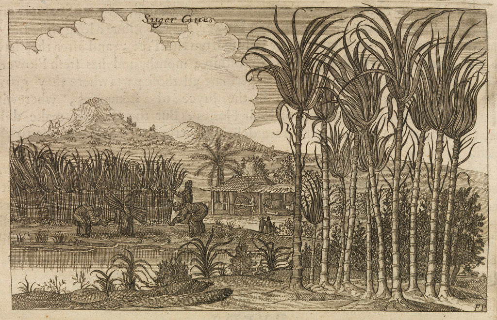 Detail of 'Sugar canes' by Wenceslaus Hollar