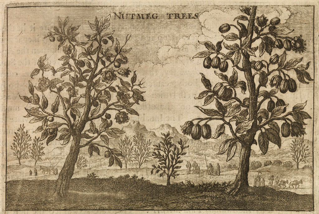 Detail of 'Nutmeg Trees' by Wenceslaus Hollar