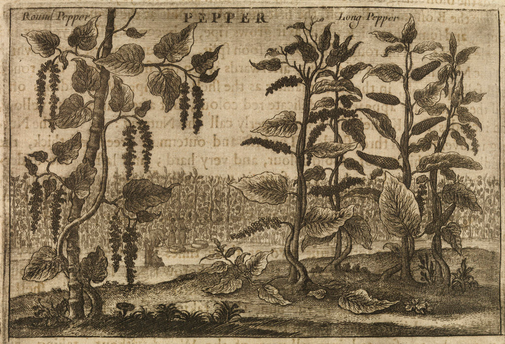 Detail of 'Pepper' by Wenceslaus Hollar