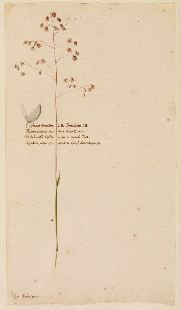 Detail of Quaking grass or Lady's hair by Richard Waller