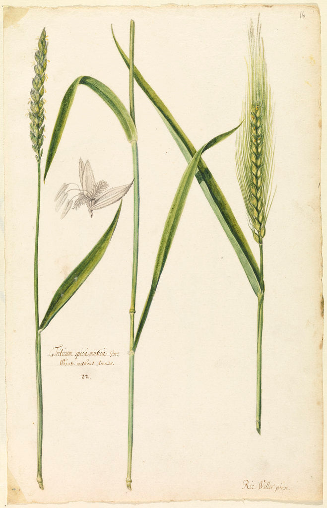 Detail of White wheat by Richard Waller
