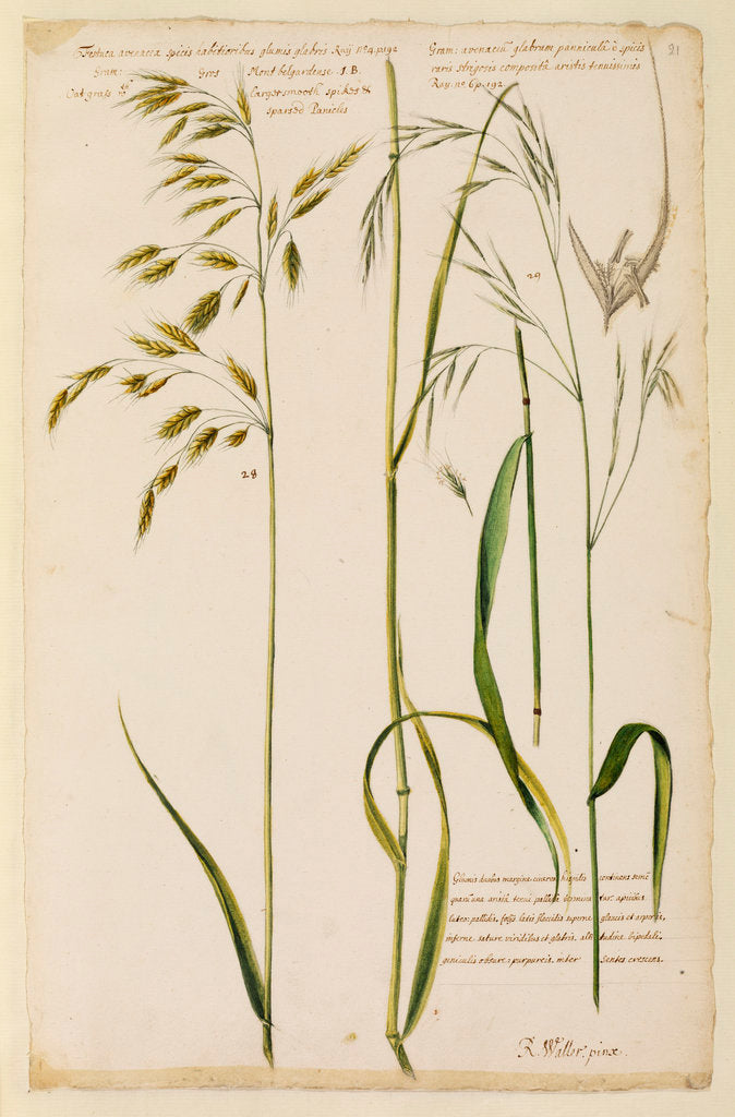 Detail of Oat grass with smooth spikes & sparsed panicles by Richard Waller