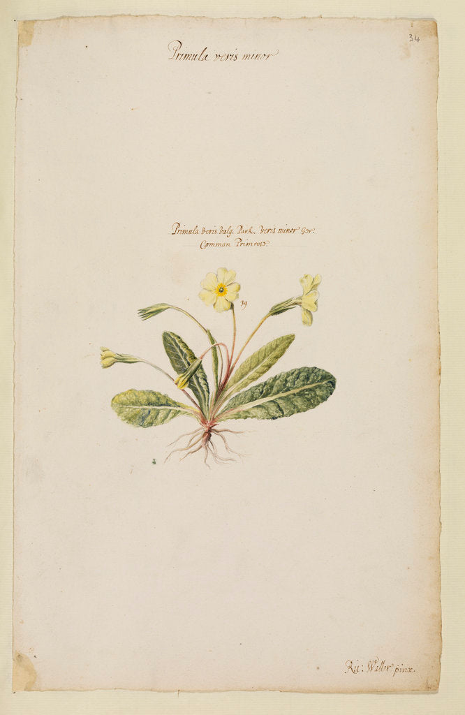 Detail of Common primrose by Richard Waller