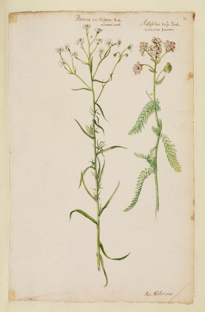 Detail of Sneezewort and common yarrow by Richard Waller