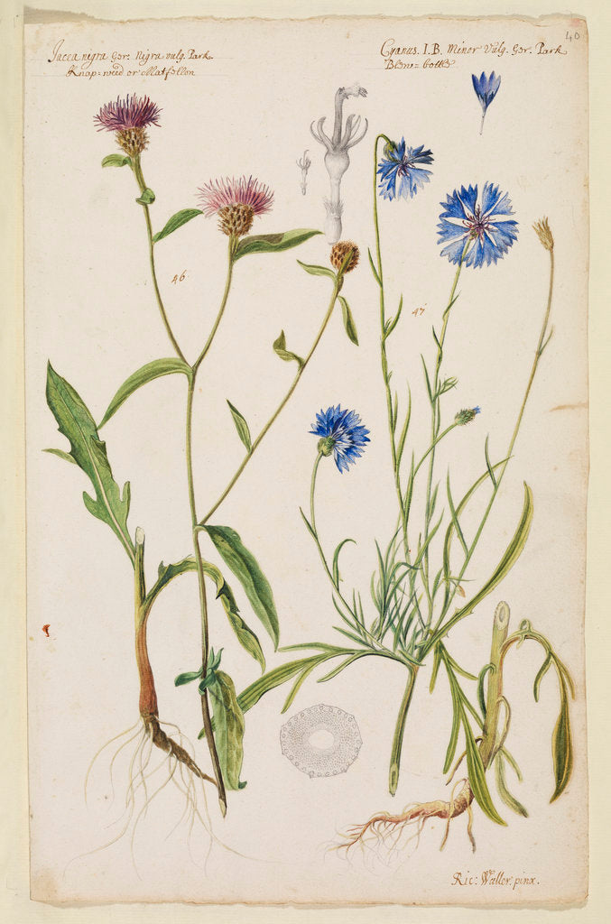 Detail of Knap-weed or matfelon and cornflower or bluebottle by Richard Waller