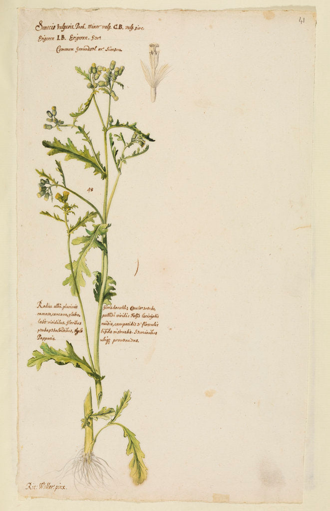 Detail of Common groundsel or simson by Richard Waller