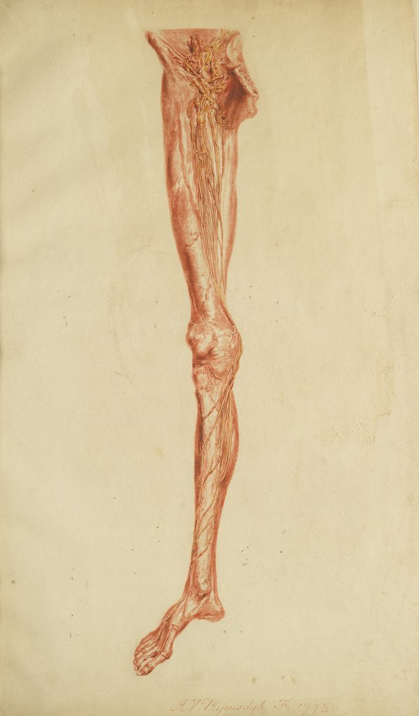 Detail of Anatomical study of leg and foot by Andreas van Rymsdyk