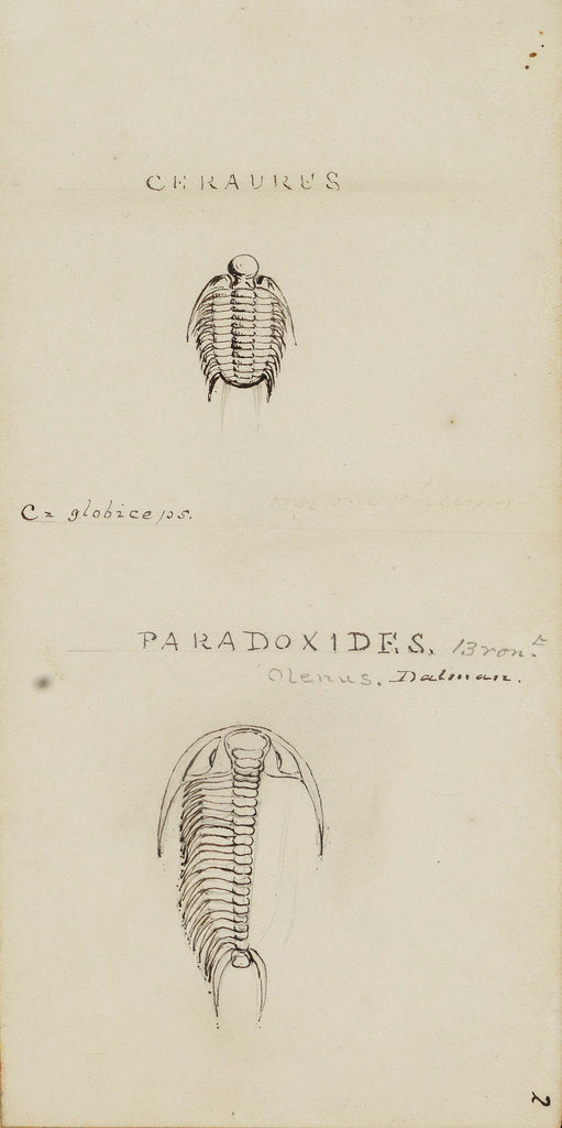 Detail of Ceraures and Paradoxides, genera of trilobite by Henry James