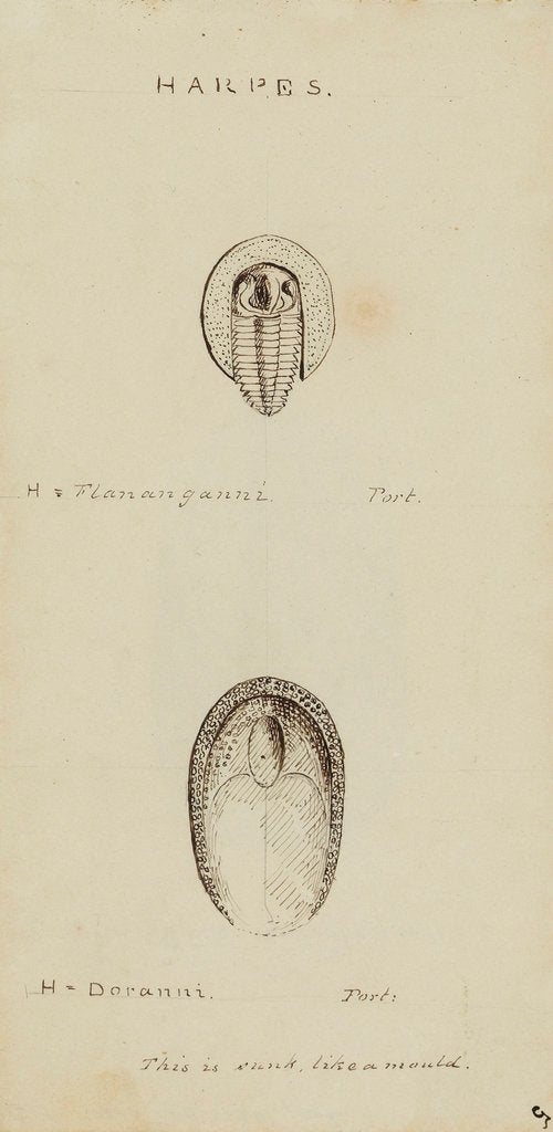 Detail of Harpes, genus of trilobite by Henry James