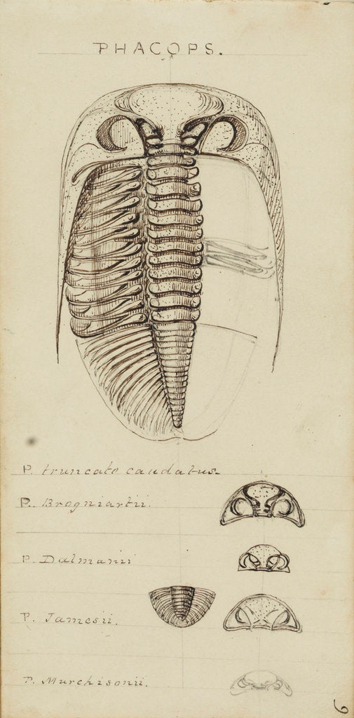 Detail of Phacops, genus of trilobite by Henry James