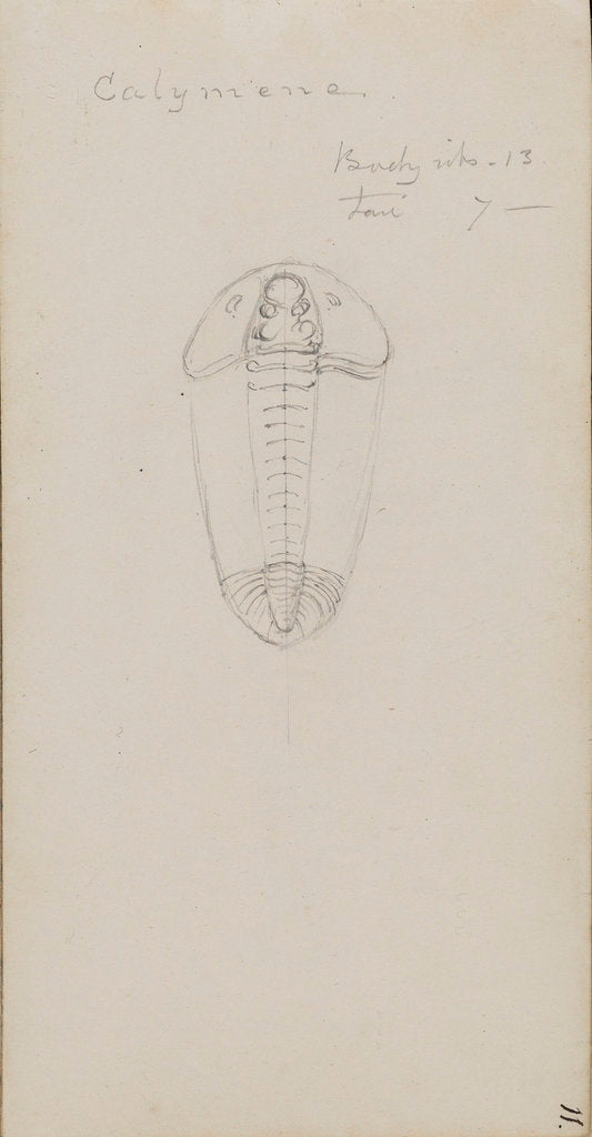 Detail of Calymene, genus of trilobite by Henry James