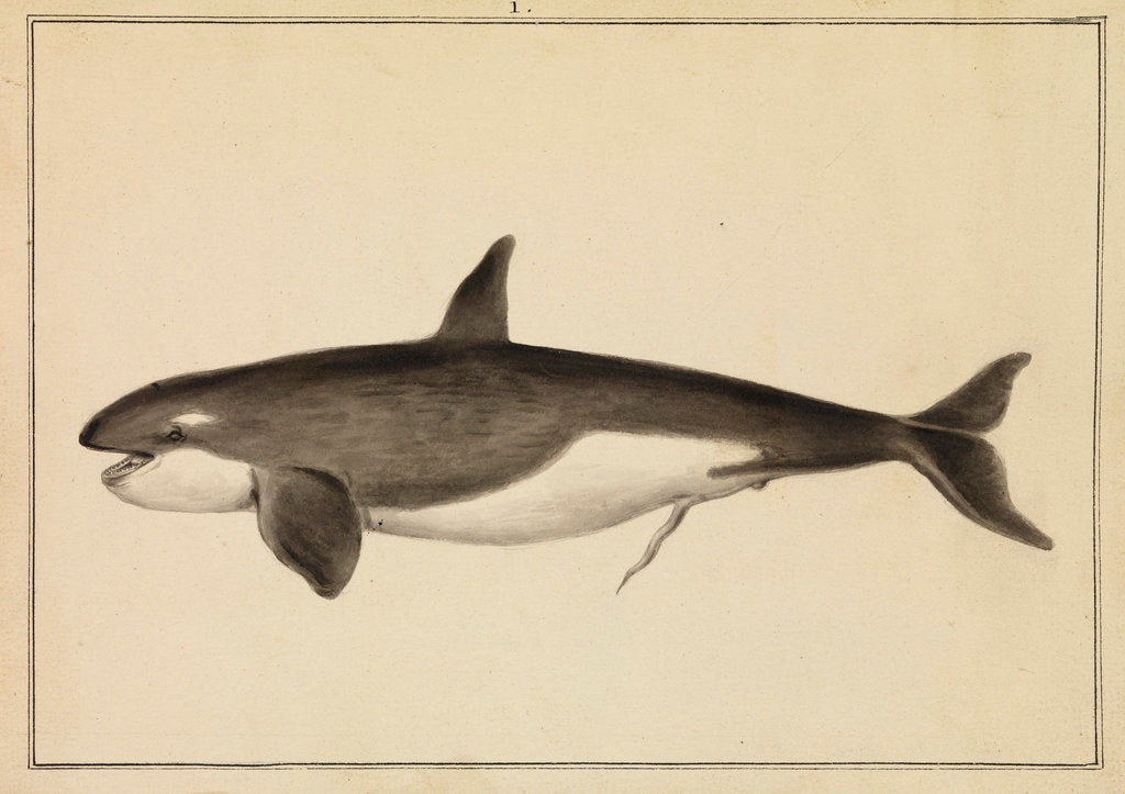 Detail of Grampus [Killer whale] by William Bell