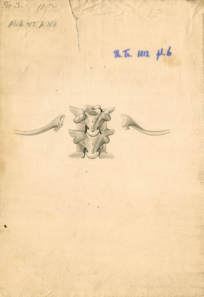 Detail of Vertebrae and ribs of a boa constrictor by William Clift