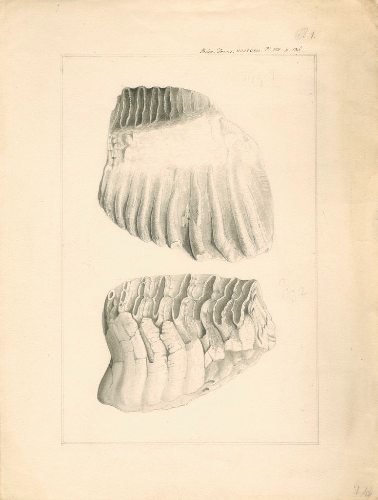 Fossil elephant grinding teeth by Anonymous