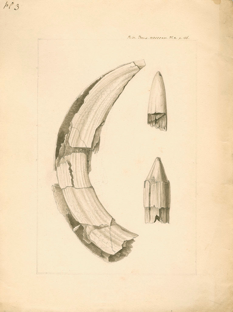 Detail of Fossil hippopotamus tusk and tooth by Anonymous