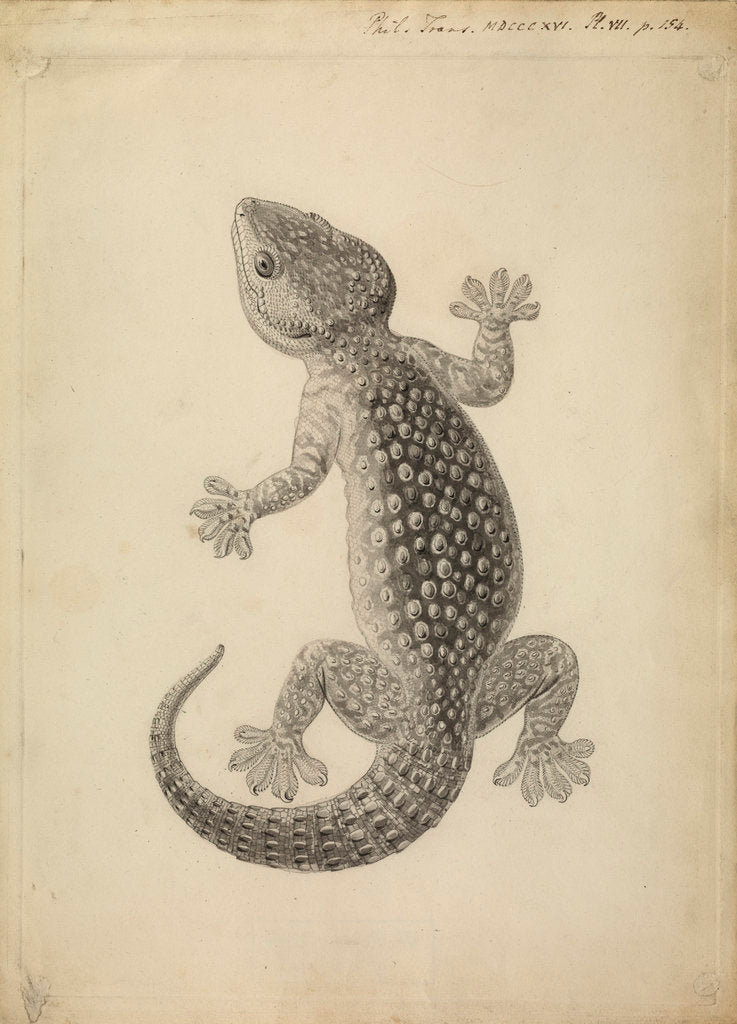 Detail of Lacerta gecko by William Clift