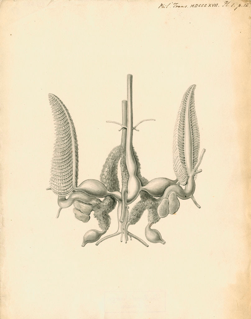 Detail of Heart of the Sepia officinalis [Common cuttlefish] by William Clift