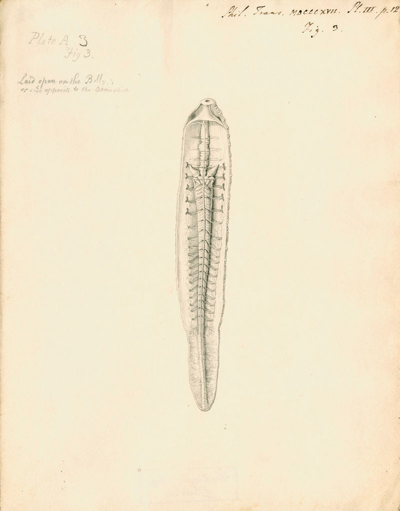 Detail of Lumbricus marinus [Lugworm] dissected by William Clift