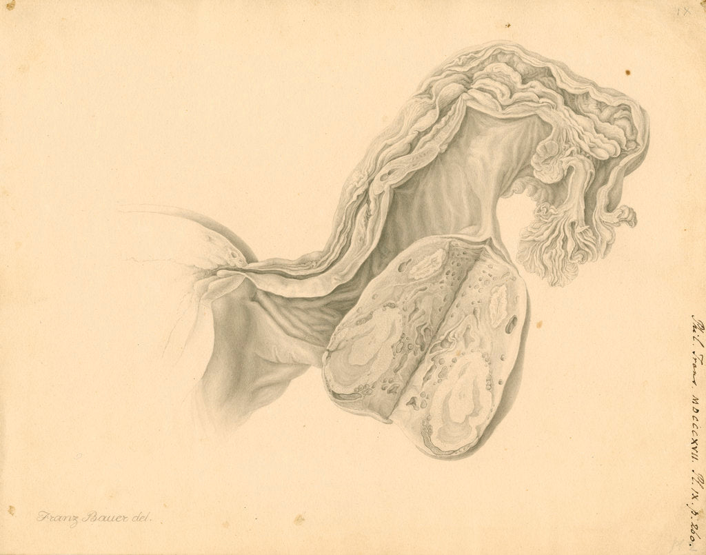 Detail of Human ovary by Franz Andreas Bauer