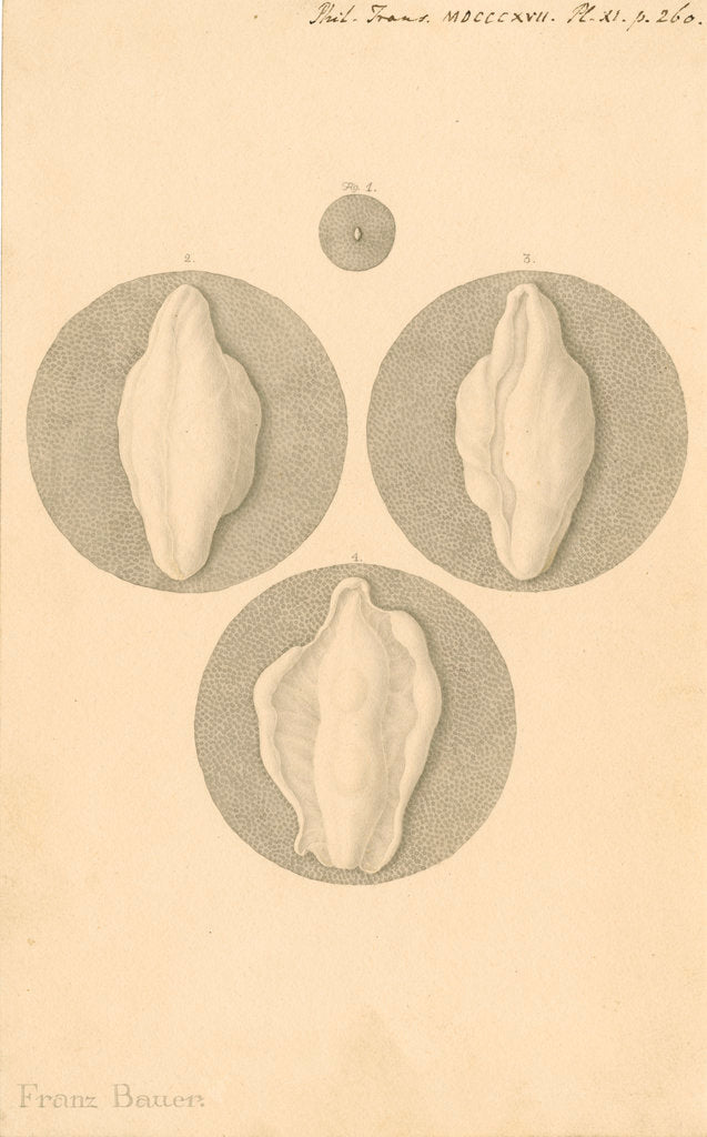Detail of Human ovum by Franz Andreas Bauer
