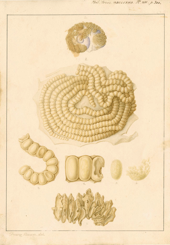 Detail of Helix janthina [marine snail] by Franz Andreas Bauer