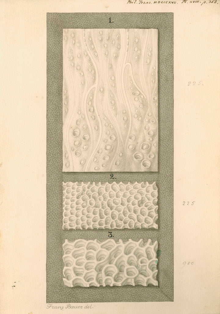 Detail of Interior surfaces of the human oesophagus and stomach by Franz Andreas Bauer
