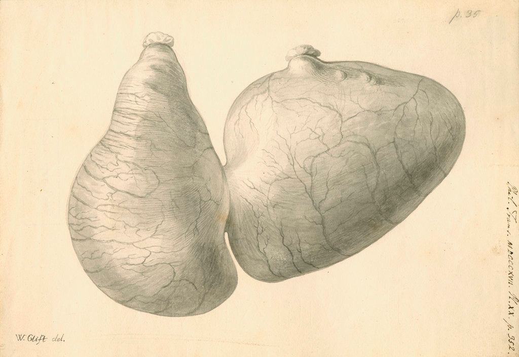 Detail of Human stomach by William Clift