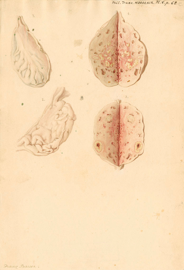 Detail of Human ovary and corpus luteum during and after pregnancy by Franz Andreas Bauer
