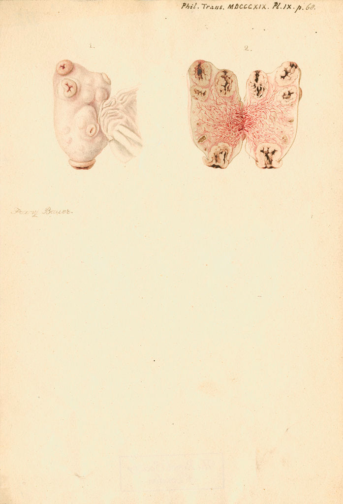 Detail of Ovaries of a pig by Franz Andreas Bauer