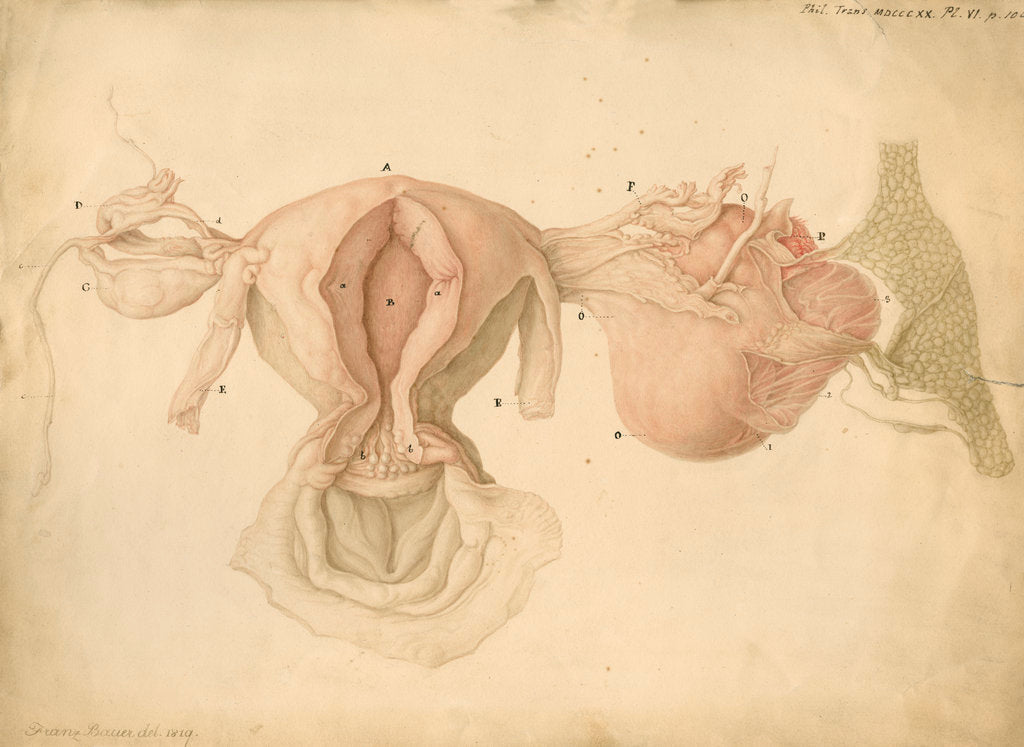 Detail of Human uterus and womb by Franz Andreas Bauer