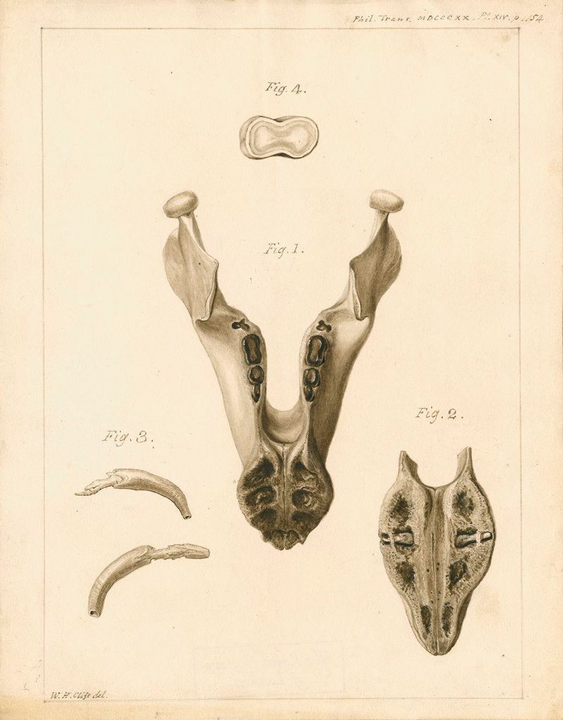 Lower jaw and teeth of a dugong by William Home Clift