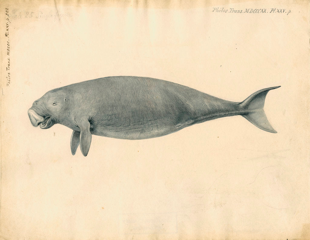 Detail of Sumatra dugong by William Clift