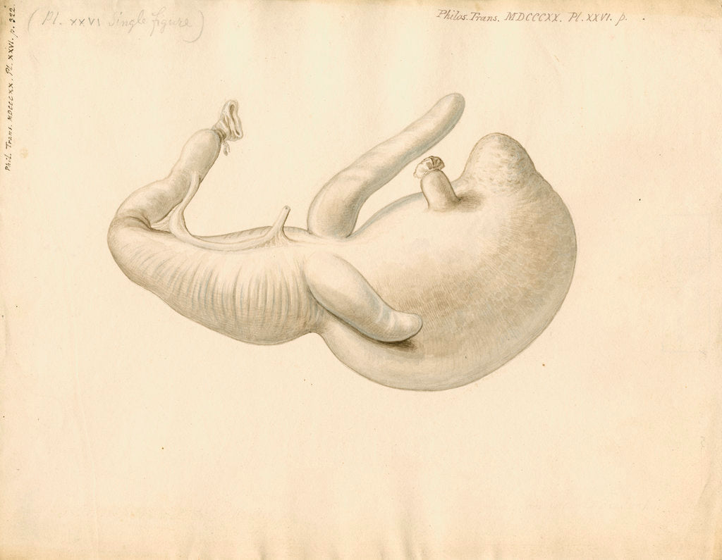 Detail of Stomach of the dugong by William Clift