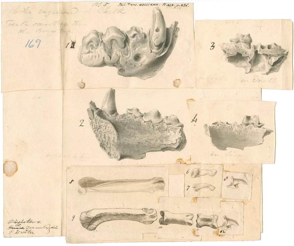 Detail of Fossil hyaena jaws and other bones by Thomas Webster