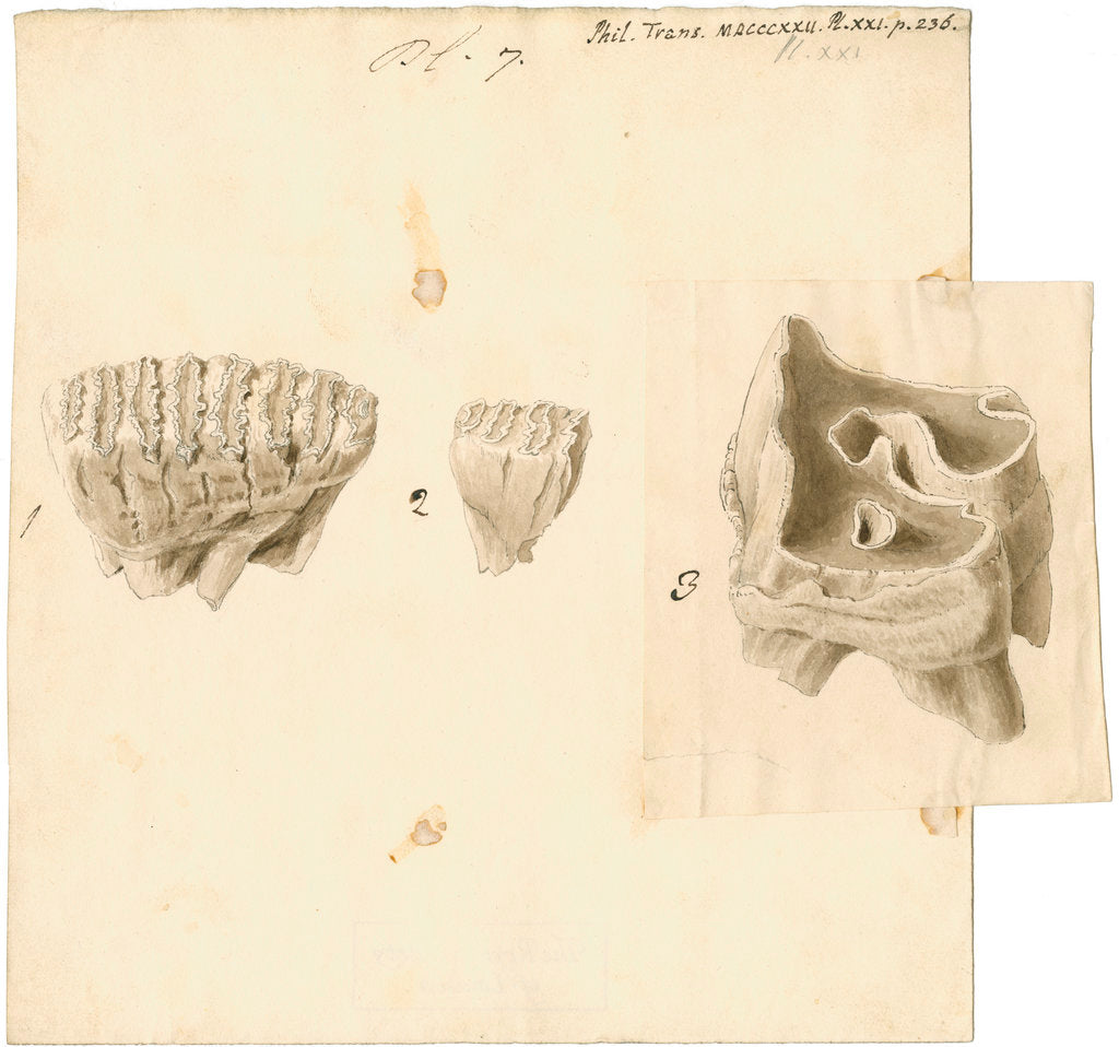 Detail of Fossil teeth of elephant and rhinoceros by Thomas Webster